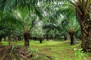 Palm Oil in Africa